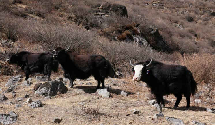 Yak, Tamang Trail and Langtang Valley Trek