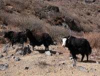 Yaks in Langtang Trek